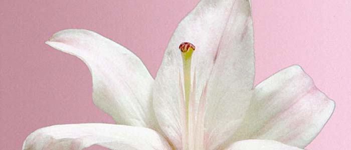 Picture of a white lily